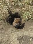 Fox pup 4.20.14