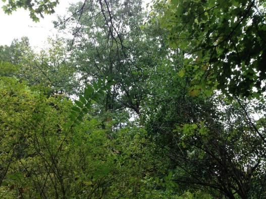 Indian Creek Woods canopy September 2014